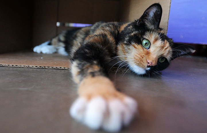 Mesa the calico cat stretching her paw