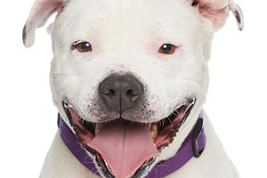 Jenny the white pit bull terrier is all smiles