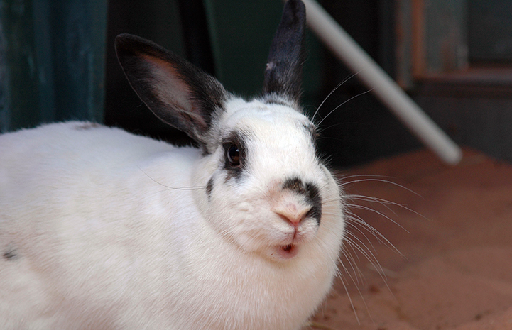 Bonnie the white and black rabbit is available for adoption from Best Friends Animal Sanctuary