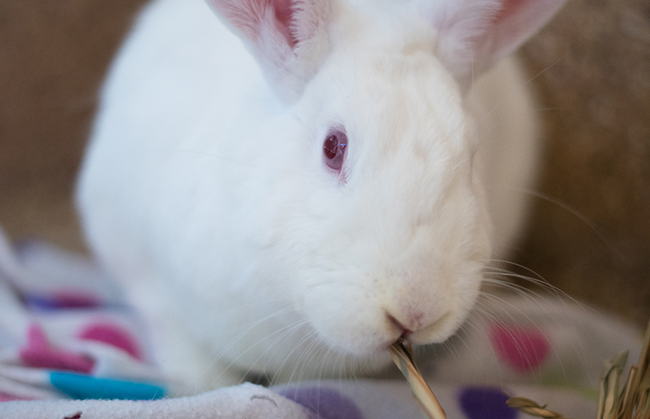 Daisy the adoptable white rabbit