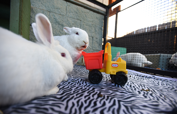 Ernie and Norah the rabbits playing with a toy truck