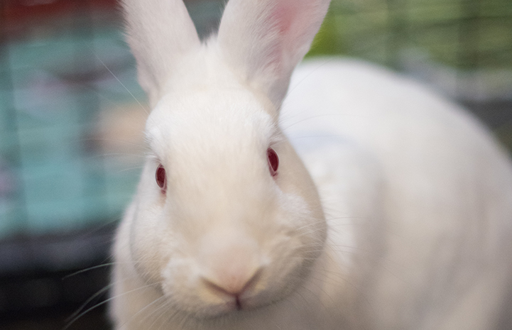 Garnet the cute white rabbit