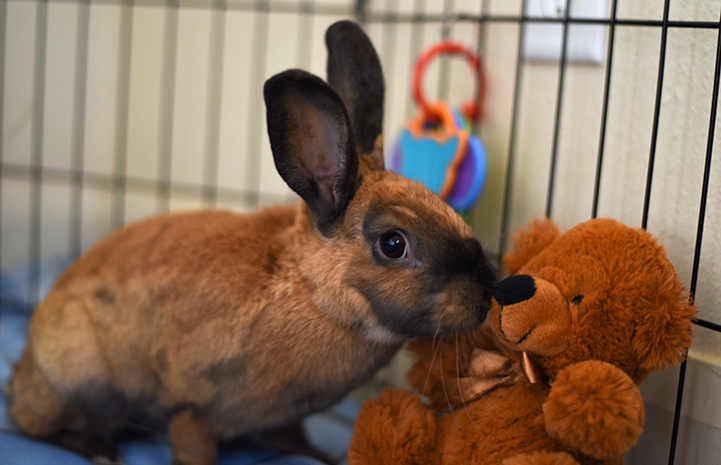 Ginger the brown and black rabbit
