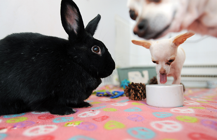 Hawkeye the black rabbit with a Chihuahua