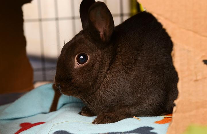 Lyle the black rabbit
