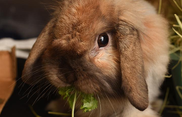 Mattie the brown lop eared rabbit