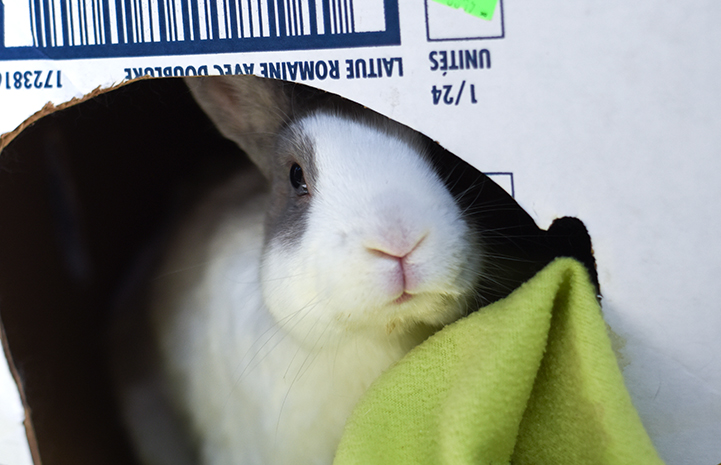 Mr. Giggles the rabbit in a cardboard box