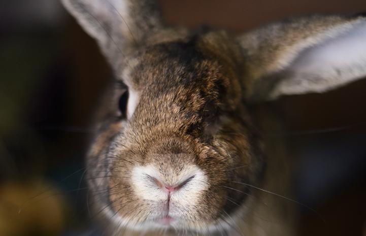 Rascal the rabbit who has cute big ears