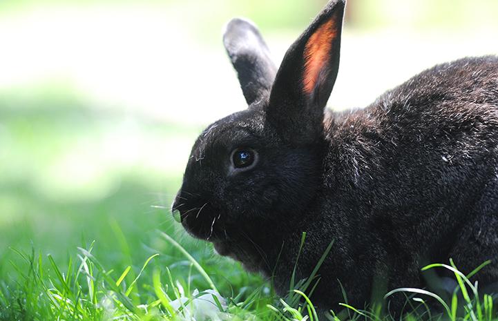 Smokey the black rabbit in grass