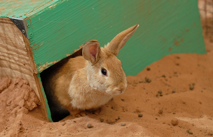 Wendy the tan rabbit in a green wooden box