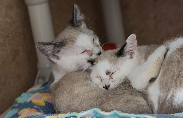 Cahill and Cordell, two Siamese kittens, were both adopted together