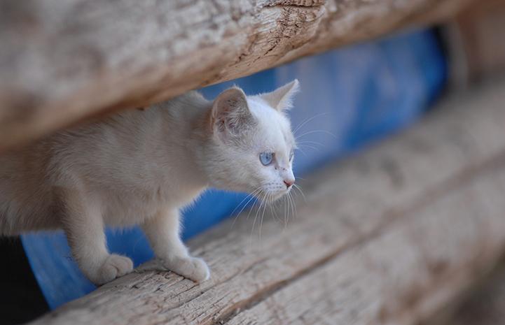 White free-roaming kitten