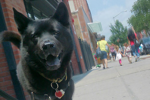 Hachi the Chow mix has come a long way since he came to Best Friends–New York