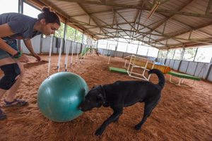 Black shepherd mix Levi the playing treibball with Ashley