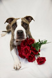 Pit-bull-terrier-type dog with red roses