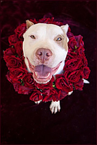 Pit-bull-terrier-type dog in a ring of red roses