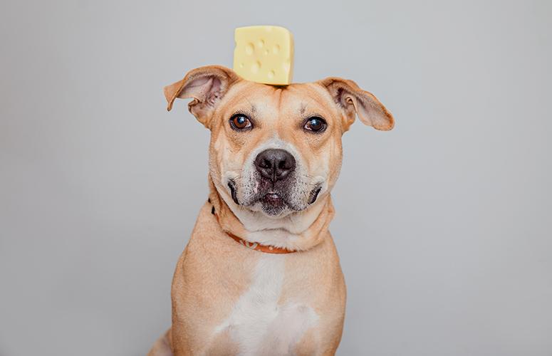 Pitbull with stuff on head