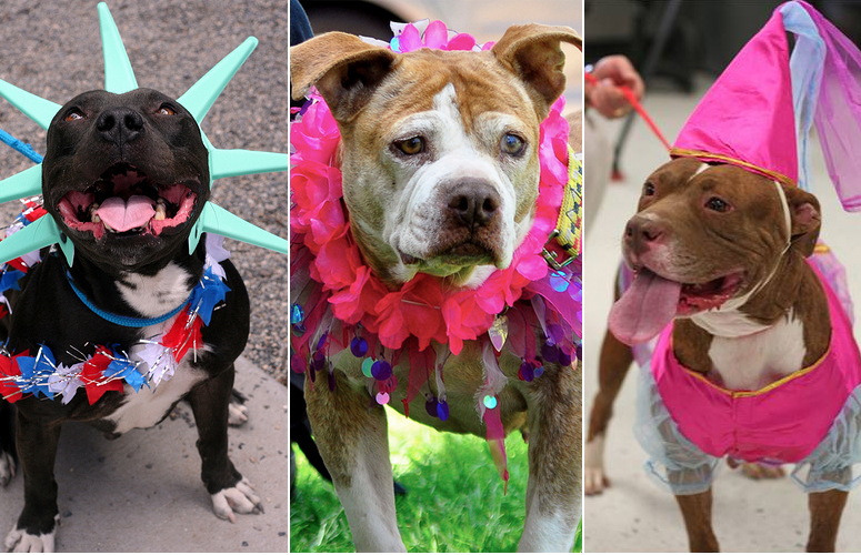Photos of pitbulls dressed up in various costumes