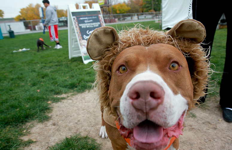 Picture of a pitbull dressed up like lion