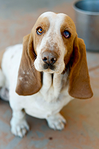 Basset hound rescued from puppy mill