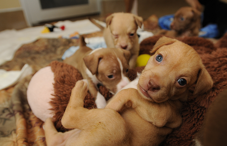 Pitbull puppy pile