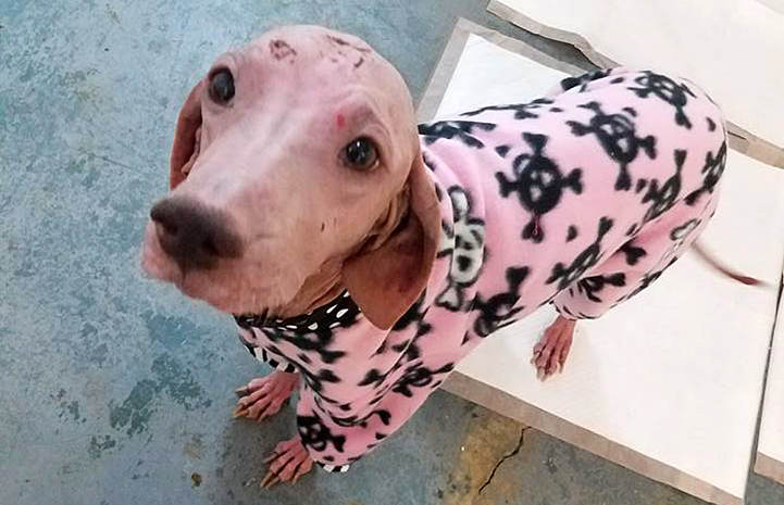 Kelly the dog with a severe skin infection, wearing some pajamas to protect her skin