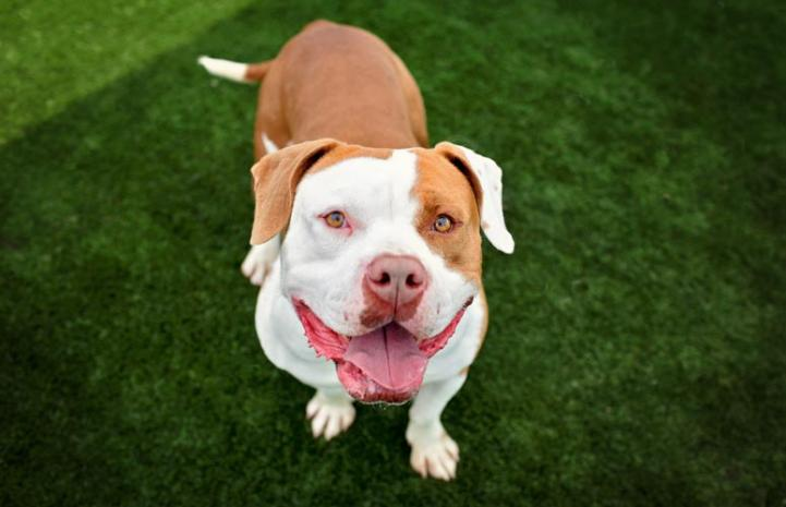 Major the Vicktory dog wins for pitbull terriers