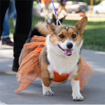Smiling corgi wearing a tutu