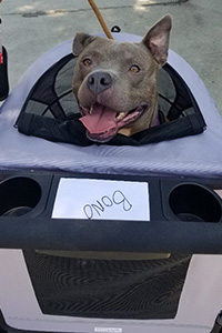 Bono the 3-legged pit bull terrier sitting in his new stroller