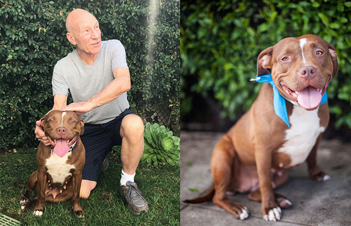 Patrick Stewart fosters a pit bull terrier named Ginger for Wags and Walks