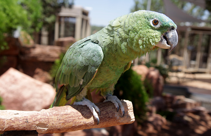 Paco the Amazon parrot