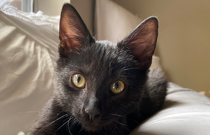 The face of a black cat looking at the camera