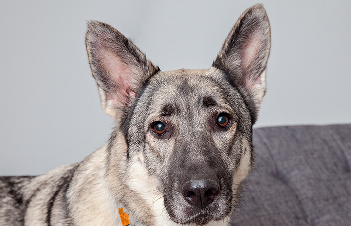 Senior German shepherd dog Sienna overcame her fears and landed the perfect family