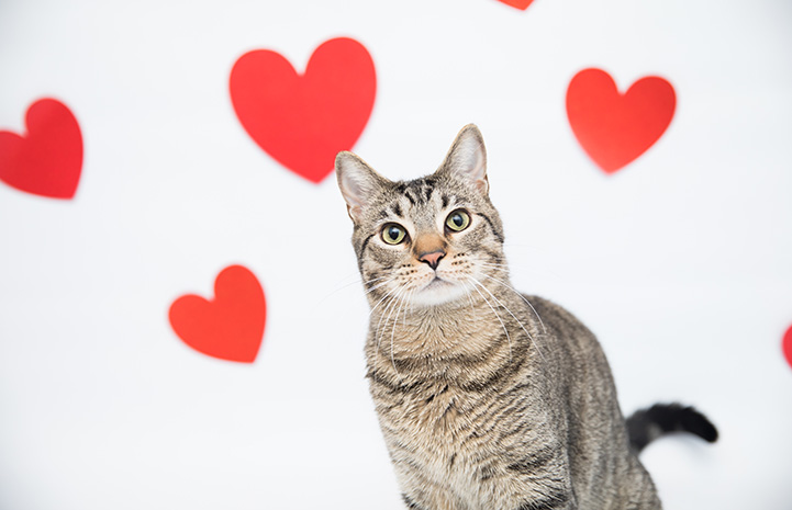 Brown tabby cat with red hearts in the background