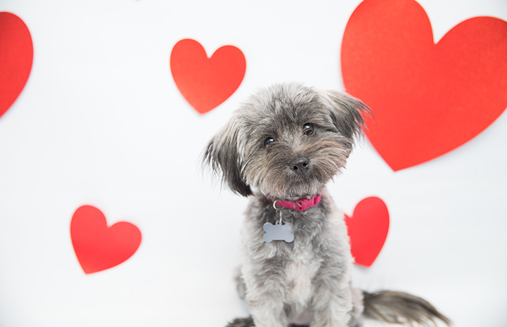 Small fluffy gray dog with red hearts in the background