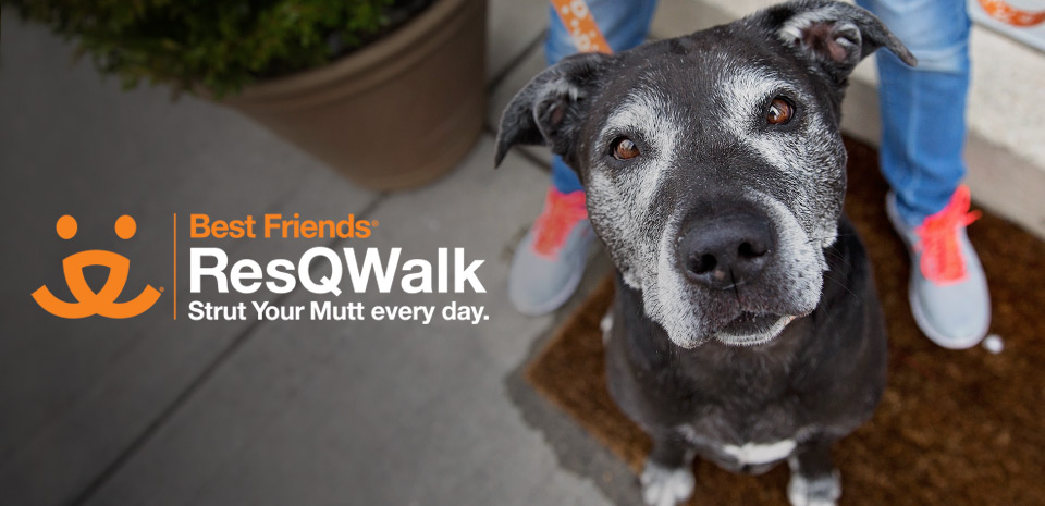 Senior Labrador retriever type dog out on a walk with a person with the Best Friends ResQwalk logo, Strut Your Mutt Every Day