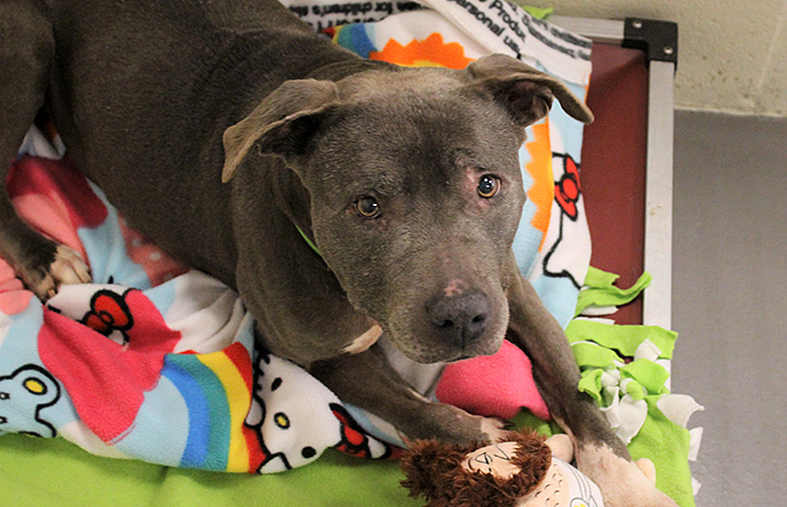 Sequin the senior pit bull terrier on some colorful blankets with some toys
