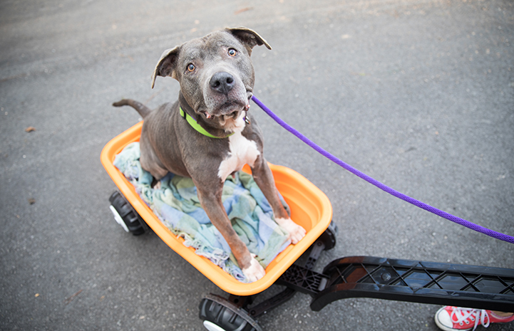Sequin, a senior pit bull terrier, sitting in an orange wagon