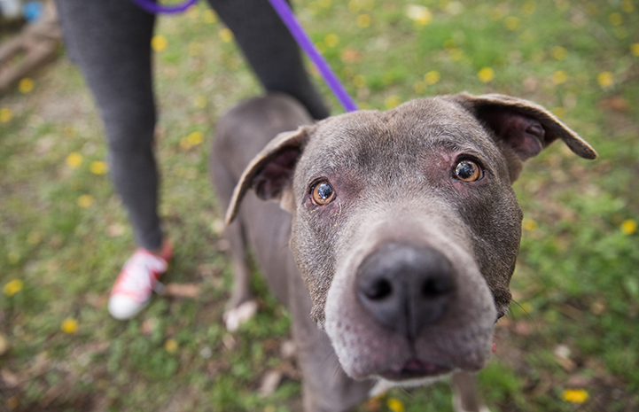 Senior gray pit bull terrier Sequin on a purple leash with someone standing behind her