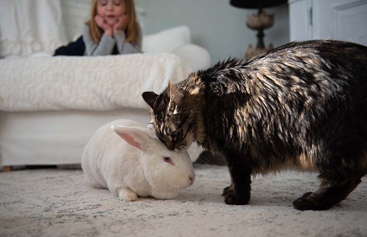 Tabby cat rubbing up against a white rabbit while young girl watches