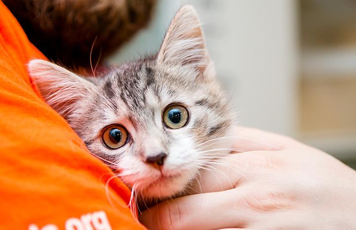 Hail, a gray tabby kitten, being held by someone wearing an orange shirt