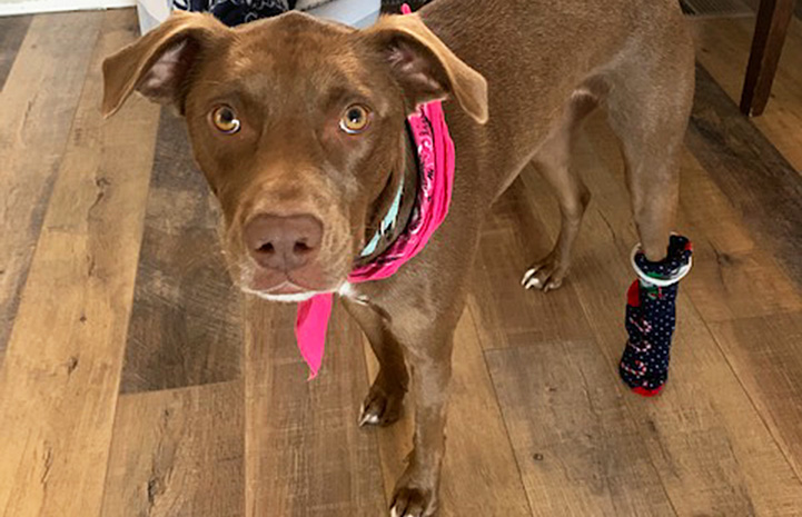 Maple the dog wearing a bandanna and a bootie