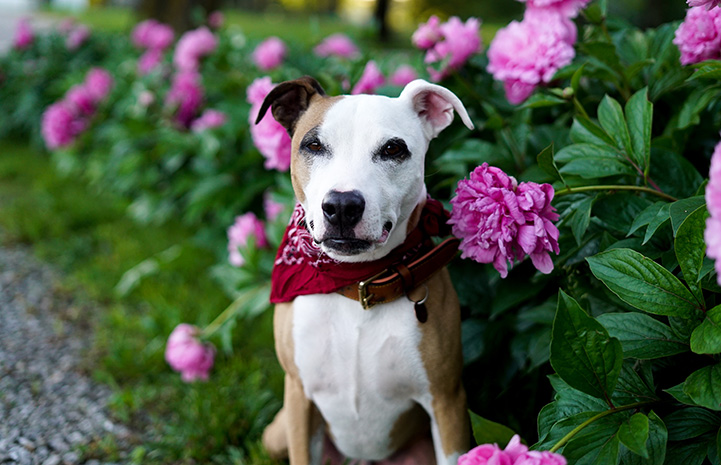 Stretch the dog in front of a blooming peony plant