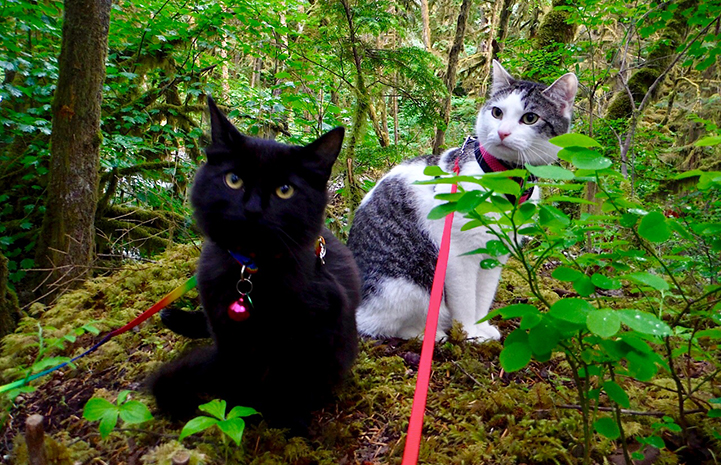 Buddah the cat with a feline friend on an adventure in the woods