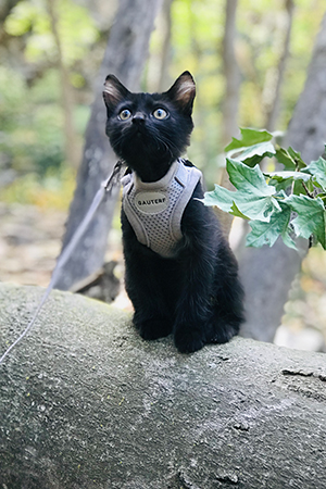 Rafa the kitten in a harness on a log out in the woods
