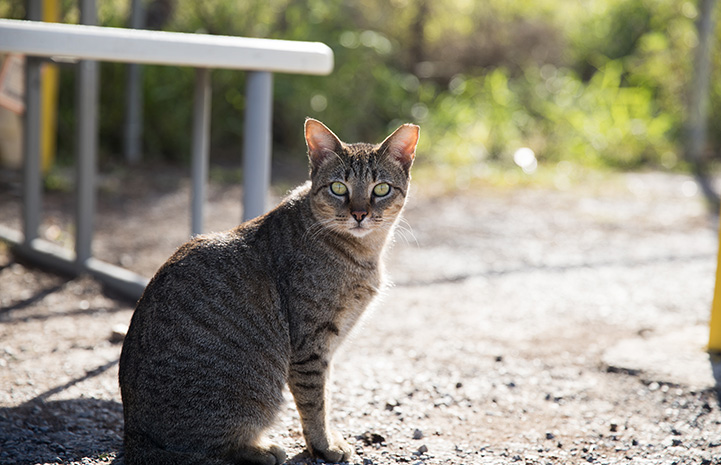 Brown tabby community cat outside with ear-tip