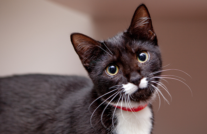 Kappa, a black and white cat wearing a red collar