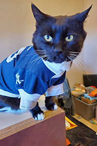 Hero the cat wearing a blue and white sports jersey