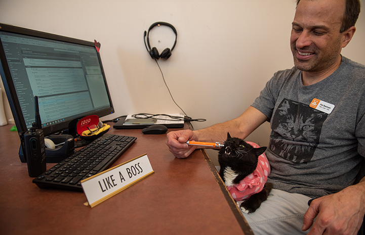 Hero the cat lying on a man's lap next to his desk and chewing on a pen