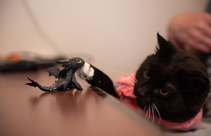 Hero the cat wearing a pink outfit pawing at a small toy dragon